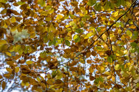 Buchenzweige (Fagus), Herbst