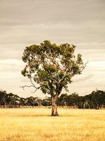 eucalyptus tree in an Australian landscape scenery