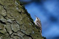 Certhiidae, ein Baumläufer sitzt auf einem Baumstamm