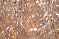 orange reeds blowing in the wind