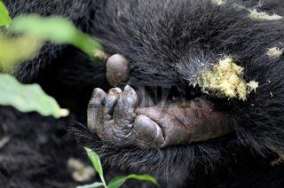 Hand eines Berggorillas im Bwindi Impenetrable Nationalpark Uganda (Gorilla beringei beringei) | Hand of a Mountain Gorilla at Bwindi Impenetrable National Park Uganda (Gorilla beringei beringei)