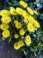 gelbe Blüten des Huflattich (Tussilago farfara)