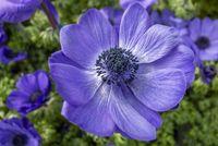 bright blue flowers closeup