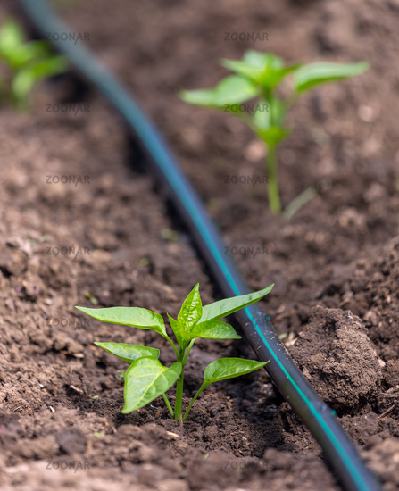 Pepper plants with drip irrigation