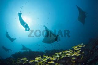 Riff-Manta, Malediven