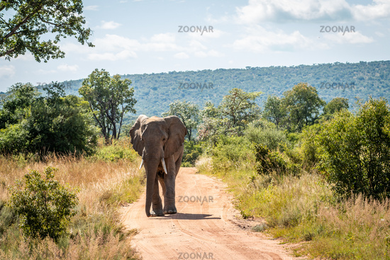 Big African elephant walking towards the camera.