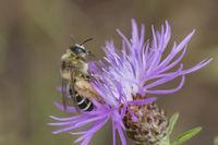 Hosenbiene Weibchen, Dasypoda hirtipes, Female Pantalon bee