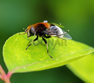 Macor of a hoverfly on a green leaf