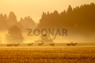 Red deer herd with stags on a field at sunrise in spring