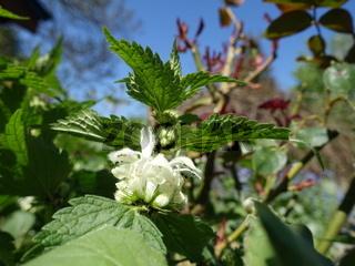 Blüten der Weissen Taubnessel (Lamium album) in Nahaufnahme