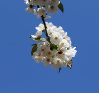 Sunlight blooming branch of fruit tree and clear blue sky at background