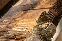 Kleiner brauner Schmetterling sitzt auf einem Ast vor dunkler Bretterwand mit Textfreiraum