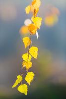 beautiful autumn yellow birch leaves