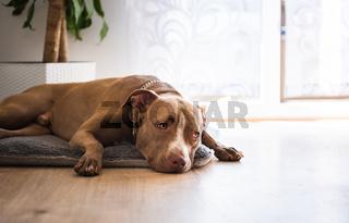 Dog lying on wooden floor indoors, brown amstaff terrier resting next to garden doors.