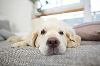 Golden Retriever Hund liegt entspannt auf Sofa