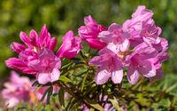 Rhododendron Ponticum Graziella, Rhododendron Ponticum
