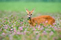 Roe deer doe standing in clover with blooming flowers.