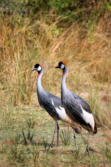Kronenkraniche im Murchison Falls Nationalpark, das Wappentier in Uganda (Balearica pavonina) | Black Crowned-crane, Murchison Falls National Park Uganda (Balearica pavonina)