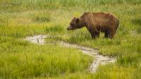 A Female Sow Grizzly Bear pauses to Hydrate herself in Rain Water