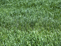 Field of green grass as a background