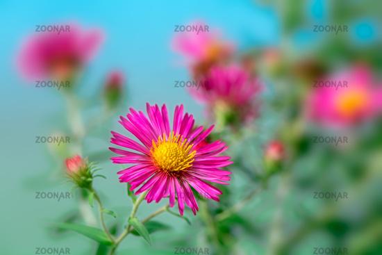 Pink aster flower in the garden