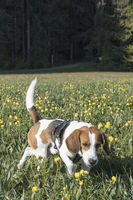 Beagle in Trollblumenwiese