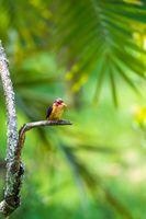 bird African pygmy kingfisher, Ethiopia Africa wildlife