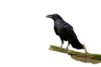 Alert common raven sitting on a bough covered in green moss isolated on white