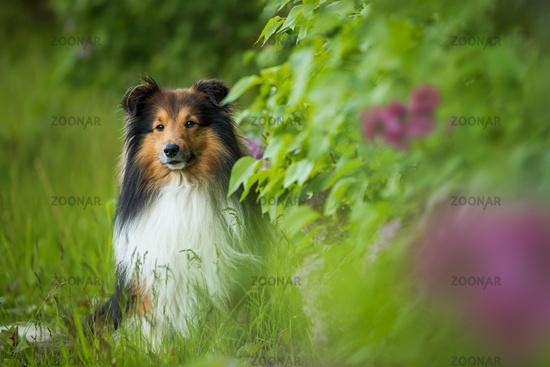 Sheltie dog under a lilac tree