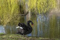 Trauerschwan oder Schwarzschwan (Cygnus atratus)