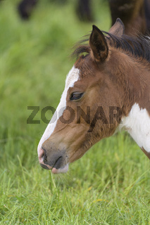 Domestic horse