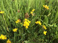 Gewöhnlicher Hornklee, Birdsfoot trefoil, lotus corniculatus