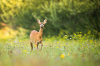 Alert roe deer doe walking on a green meadow with flowers in summer nature