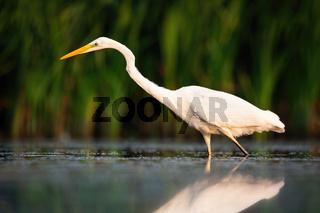 Elegant great egret hunting in river in summer at sunset