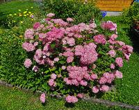 Rispen-Hortensie, Hydrangea paniculata; hydrangea