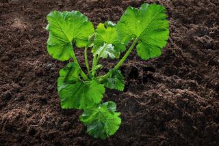 Zucchini-Pflanze im Gemüsebeet