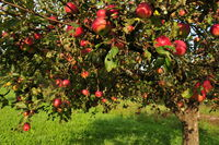 Bio Baum mit roten Aepfeln
