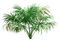 thatch palm tree isolated on white background