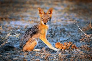 Schabrackenschakal, Etosha Nationalpark, Namibia, (Canis mesomelas) | black-backed jackal, Namibia
