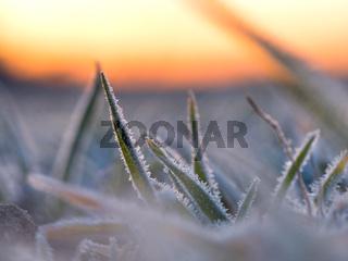 Gräser an einem Wintermorgen