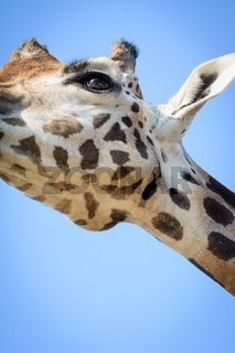 Giraffenhals