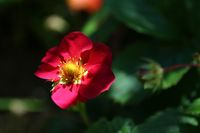 Red flower with green buds on blurred dark background.