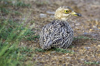 Spotted Thick-knee_1.jpg