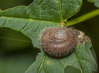 Zottige Haarschnecke 'Trochulus villosus'