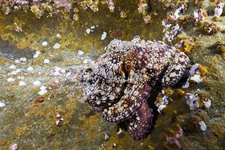 Gewoehnlicher Oktopus, Mexiko