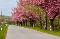 Obstbäume, blühnede Bäume am Straßenrand
