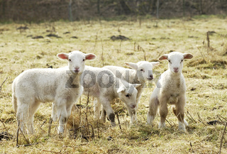 Schaf Lämmer