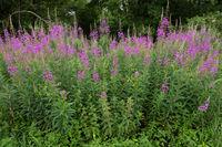 Wald- Weidenröschen, Schmalblättriges Weidenröschen, Epilobium angustifolium, woodland willowherb