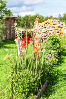 Gladiolus flowers grow on a flowerbed in the village