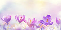 crocus flowers, floral background